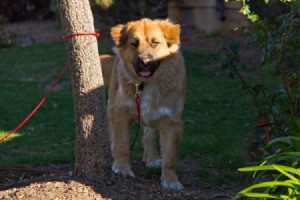Golden Retriever and German Shepherd Mix tied to a tree