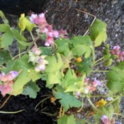 Identifying a Garden Flower - clusters of pink flowers on low growing plant