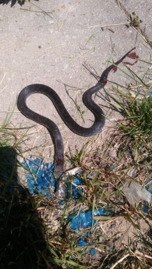What Kind of Snake Is This? - dead snake
