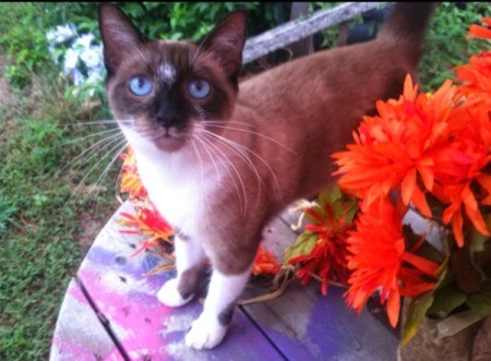 Choco (Siamese) - seal point cat