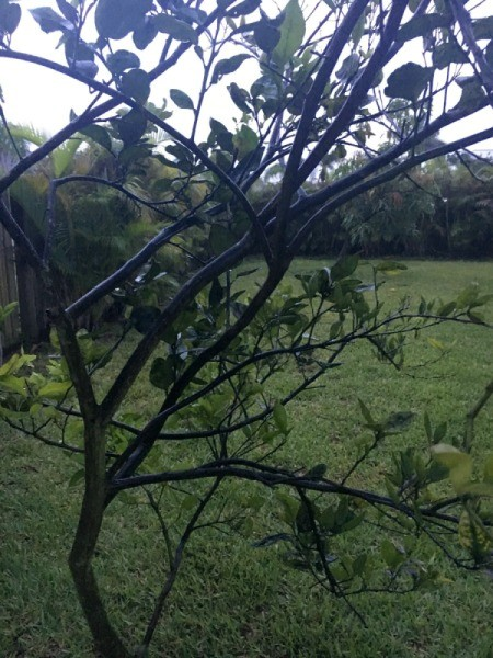 Avocado and Citrus Fruit Tree Health Problems - twiggy tree with few leaves