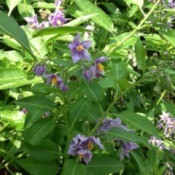What Is This Garden Plant? - plant with small light purple flowers with yellow centers What is this plant