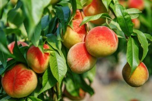 Close up of ripe peaches on a tree.