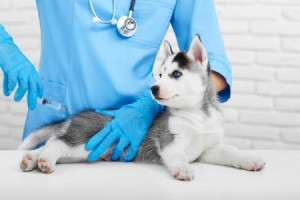 Husky puppy getting a vaccine.