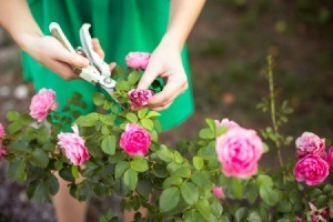 Woman in green dress deadheading a rose.
