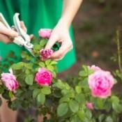 Woman in green dress deadheading a rose.