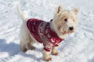 Dog in a sweater out in the snow