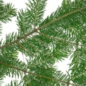 Pine boughs on a white background