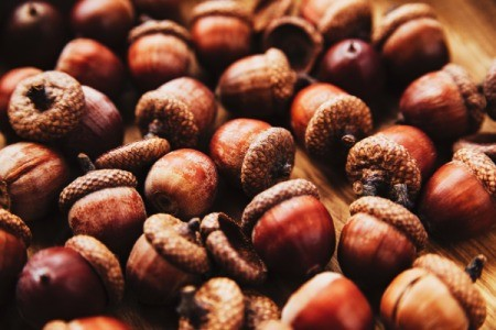 acorns on table