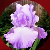 Gift Iris - iris photo in a circular frame presentation