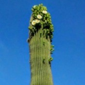 Saguaro Blooming - flowers at the top