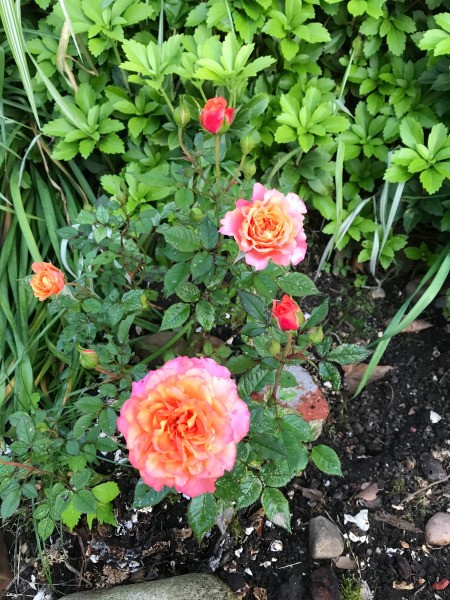 Whey for Healthy Plants - miniature rose