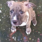 Is My Dog a Pit Bull? - puppy closeup