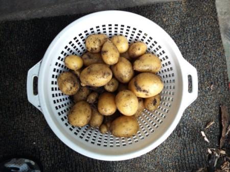 Yellow Potato Harvest - colander of small potatoes