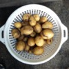 Yellow Potato Harvest - colander of small potatoes