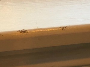 Identifying Small Black Bugs in Kitchen  - tiny bugs on counter