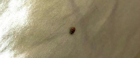 What Kind of Bug Is This? small striped bug