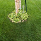 Clean Lines For Small Lawn - ivy growing around birch tree base