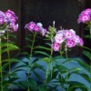 Mini Garden Tour - phlox