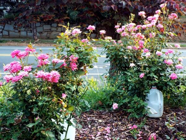 Mini Garden Tour - knockout roses