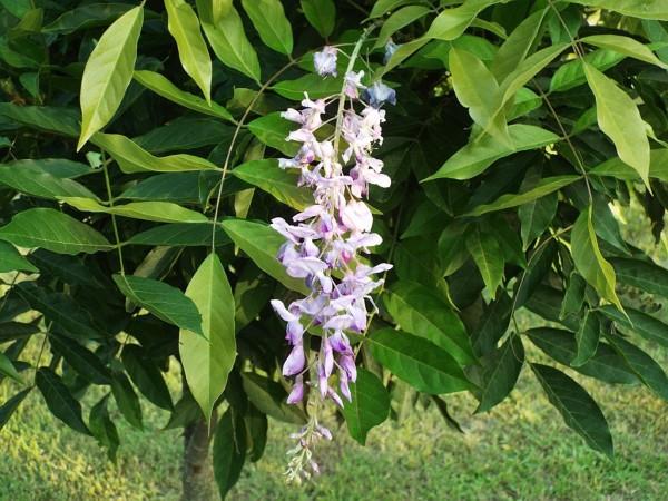 Mini Garden Tour - closeup of wisteria bloom