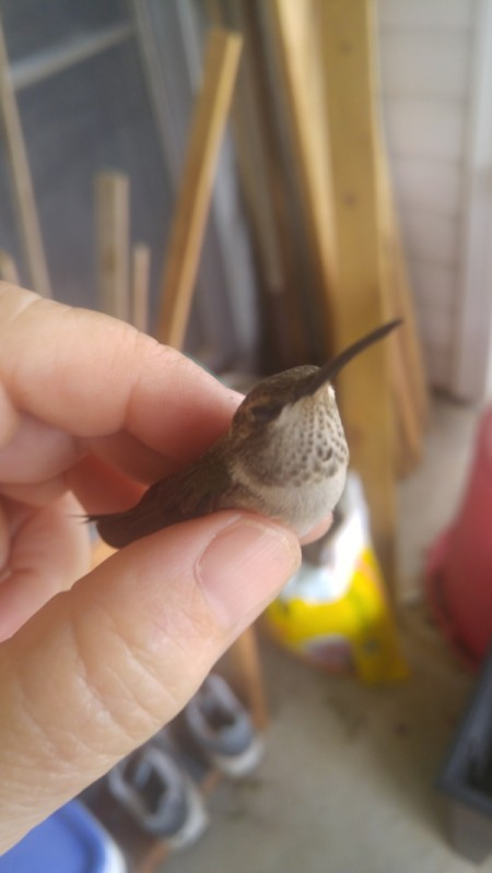 A Big Bug? No a Hummingbird!