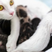 White mother cat feeding kittens.