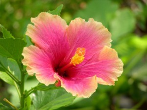 Pink and yellow Hibiscus flower.