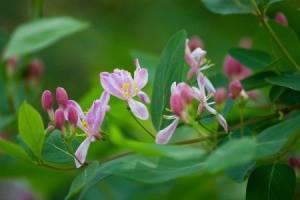 Honeysuckle flowers on tree