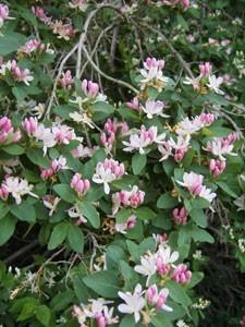 Honeysuckle In Bloom