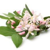 Light pink Honeysuckle flowers with leaves on white background