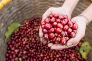 Cherries held about basket of cherry harvest