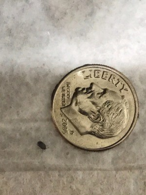 Identifying a Tiny Black Bug - bug next to a dime