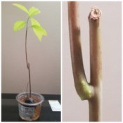 Caring for an Avocado Grown from a Pit - new side growth below damaged area