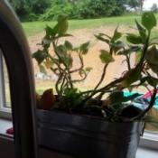 Identifying a Houseplant - leggy plant on windowsill