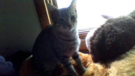 What Breed Is My Cat? - young cat with tabby coloration