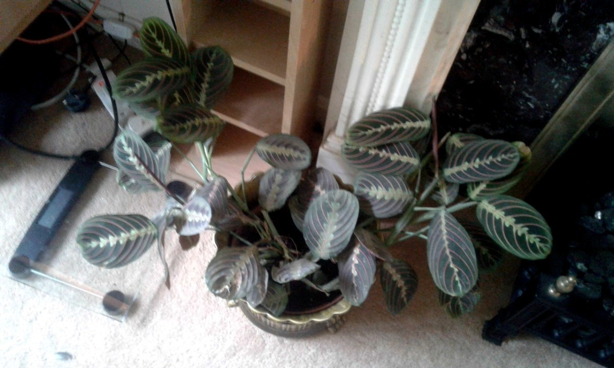 Growing Marantas Prayer Plants Thriftyfun