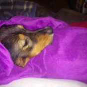Caring for a Dog with Parvo - red and tan dog under a blanket