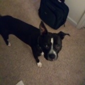 Is My Dog a Pit Bull? - black and white dog
