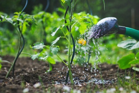 Watering small tomato plants with a watering can.
