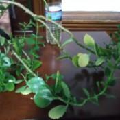 Identifying a Houseplant - vining plant
