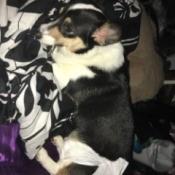 Doggie Diapers Won't Stay on Corgi - tricolored Corgi with diaper