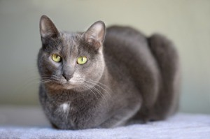 Korat breed cat.