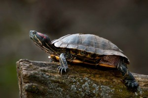 Red Eared Slider turtle on a log.