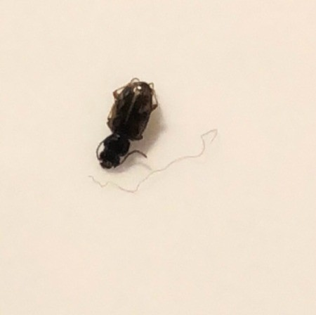 Identifying Tiny Black Bug on Sheets