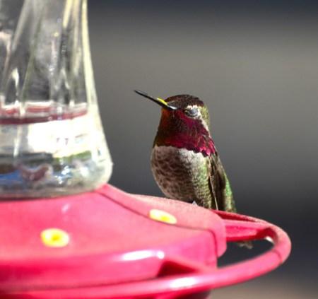 Mr. Red (Hummingbird)  - hummingbird on feeder