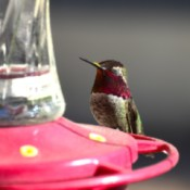 Mr. Red (Hummingbird)  - hummingbird on feeder