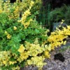 Golden Euonymus Foliage with Three Colors - shrub