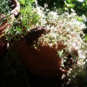 Morning Entertainment (Toad) - brown toad on potted plant