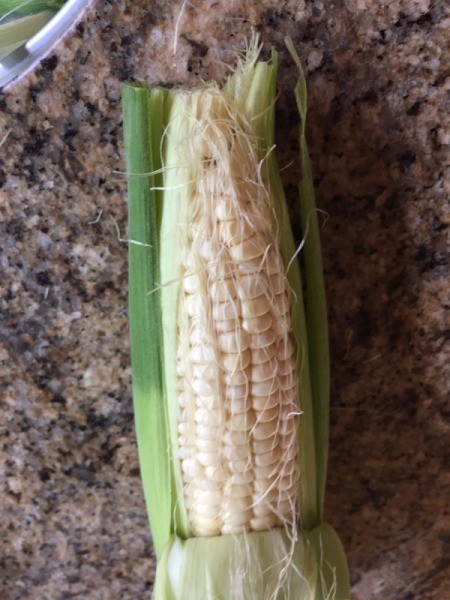 Corn peeled down for inspection.